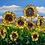 Thumbnail: Sunflower I