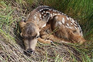 Newborn deer_7478.JPG