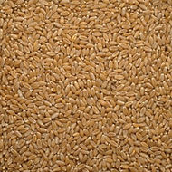 Winter Wheat.jpg