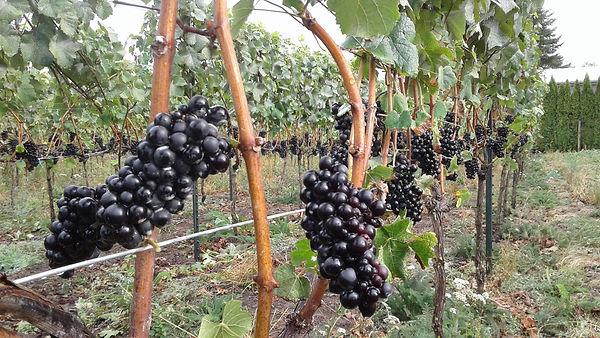 pinot noir vineyard sep 2017.jpg