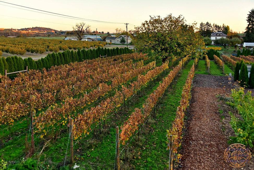 vineyard october 2017.jpg