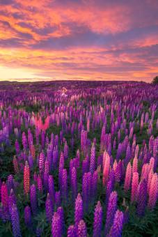 Amazing lupin sunrise