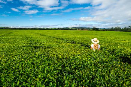 Nerada Tea Fields