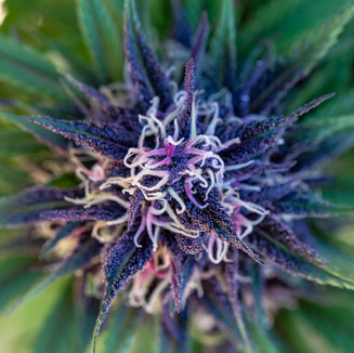 macro cannabis photography