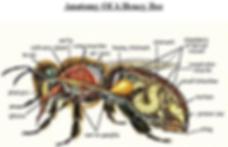 anatomy_of_the_honey_bee_colored.png