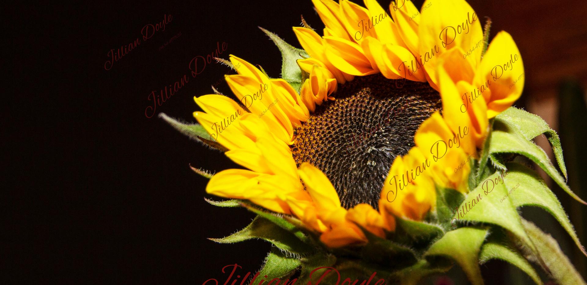 Sunflower 9404 (c) JDoyle.jpg