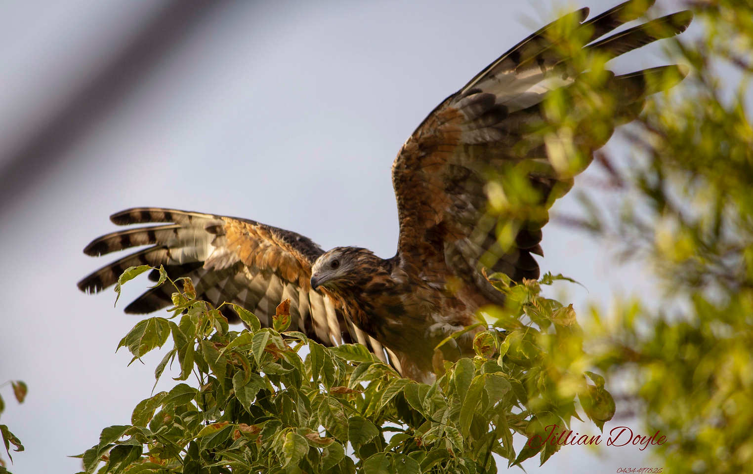 Hawk_9270