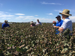 UNCGA Cotton Crop of the Yield