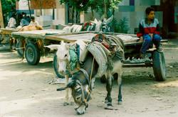 Donkeys - Cairo