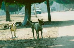 Stray Dogs - Cairo