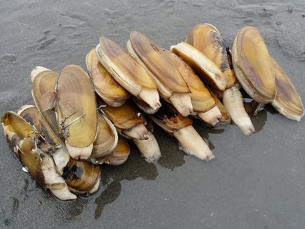 razor clams photo
