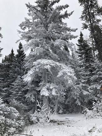Cedar picking 3.jpg