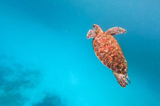 Turtle Swimming.jpg
