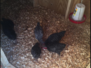 New Coop First Day