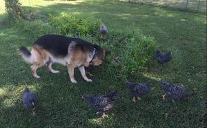 Luka's Chickens