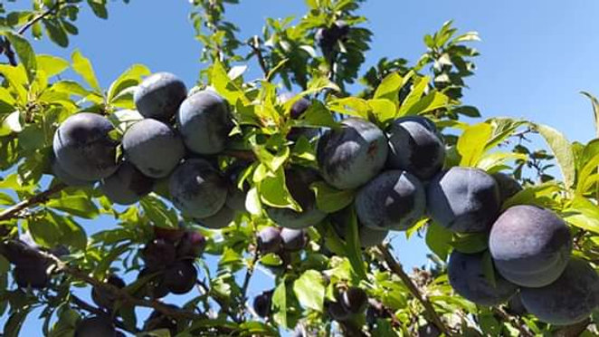 5 Gallon Bucket of Plums On-Site pickup only, bucket not included