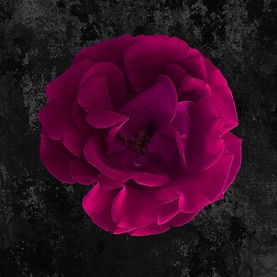 fushia rose.jpg