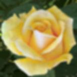Yellowrose7.jpg
