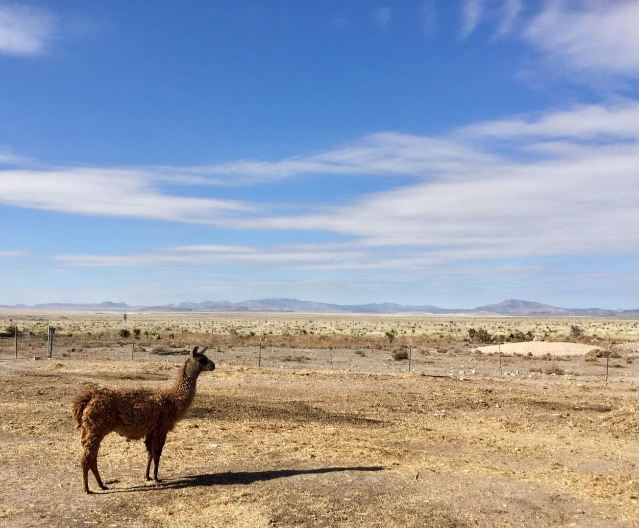 Big Sky Llama