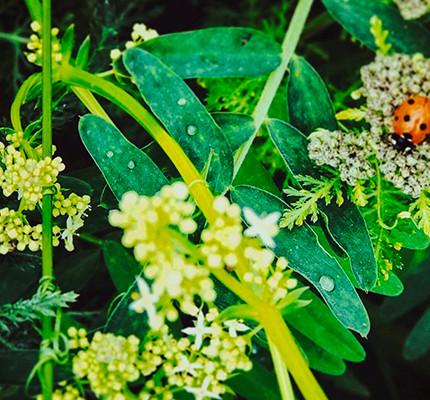 Ladybird Tangle