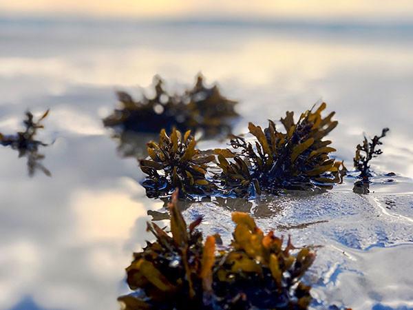 Kelp Field