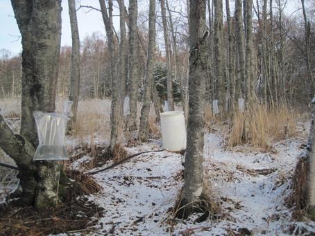 Bridge Creek Birch