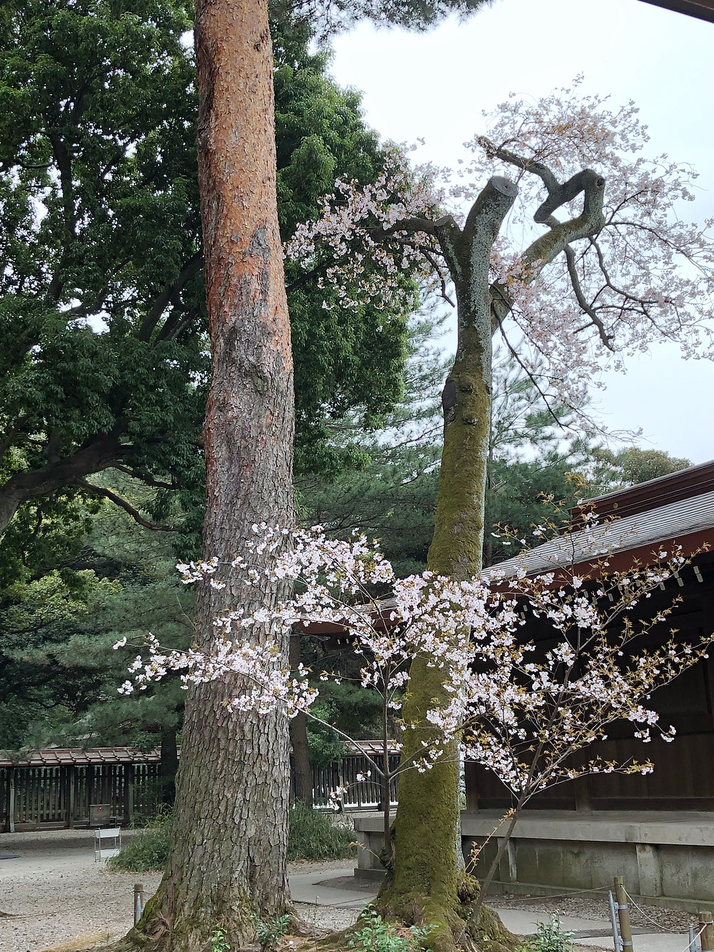 Meiji Jingu tokyo Cookingwiththehamster