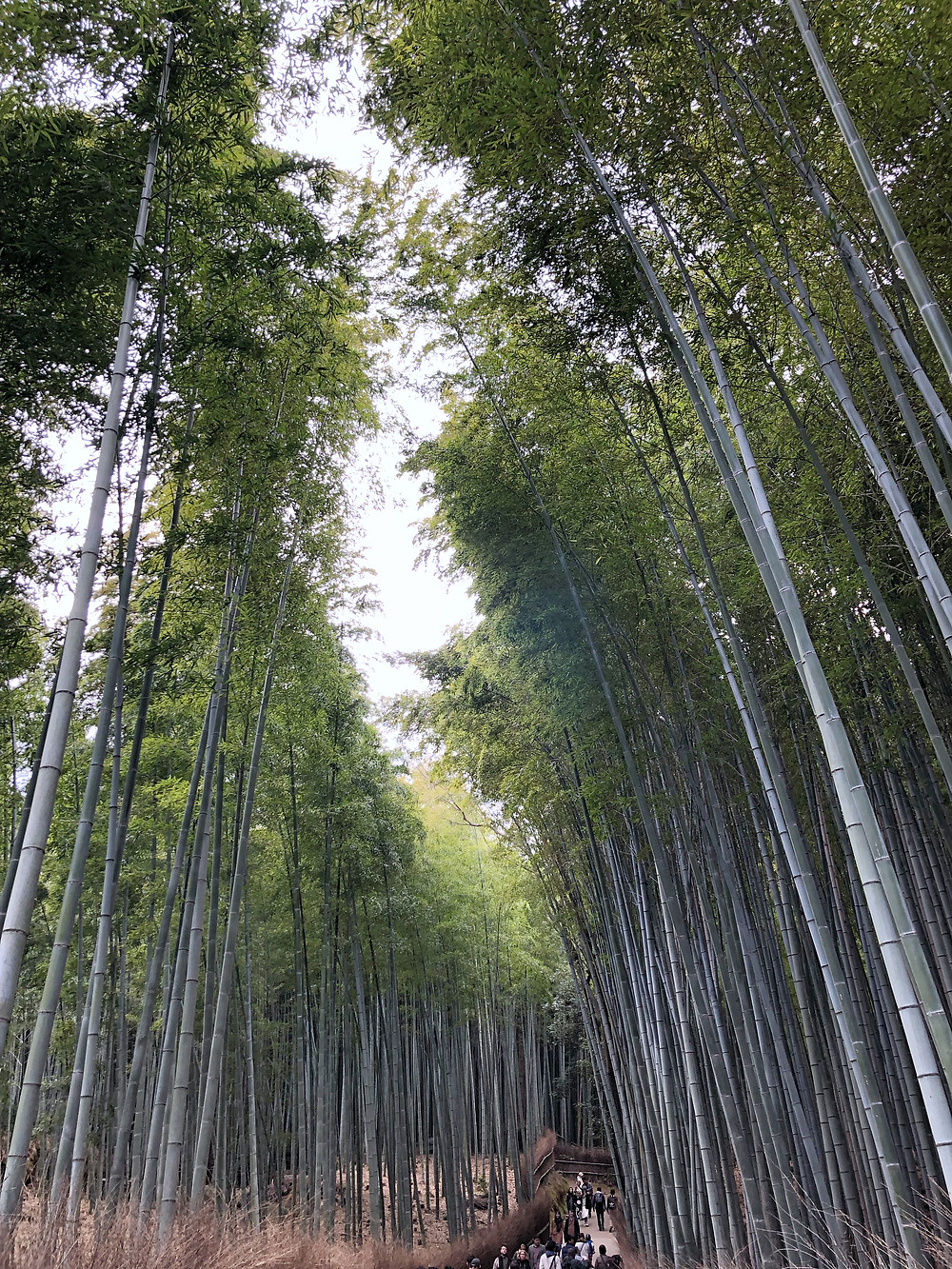 bamboo grove foresta di bambù kyoto cookingwiththehamster