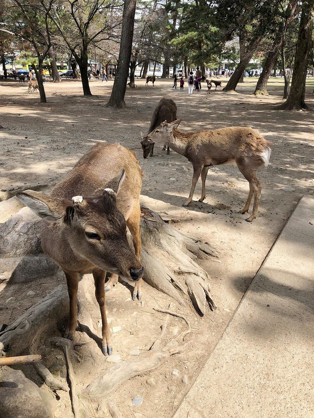 nara giappone cervo deer cookingwiththehamster