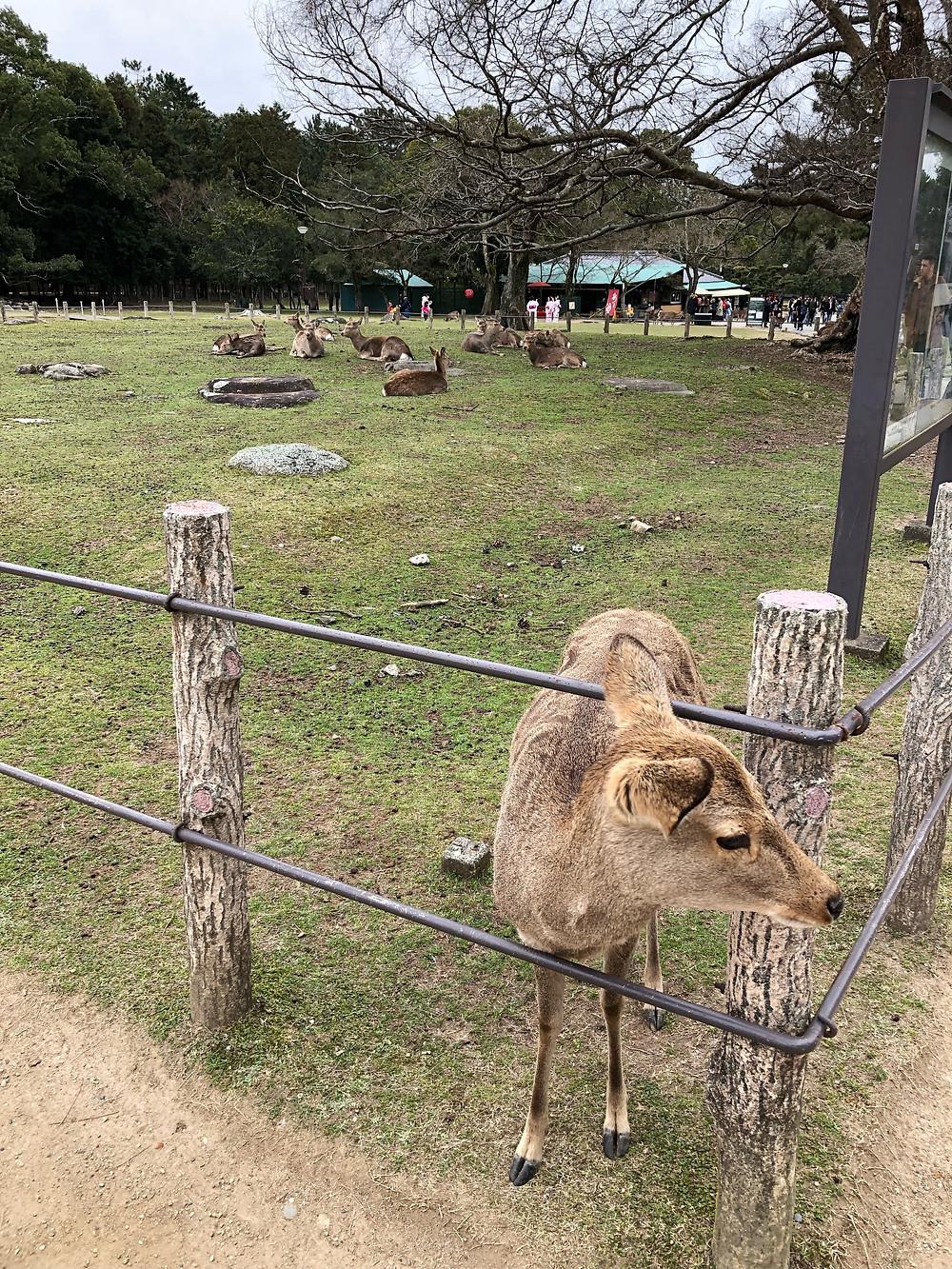 Nara parco park deer cervo cookingwiththehamster
