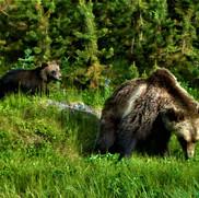 Grizz and cub at Greyjay Lake