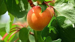 Ernte-2-apricot.jpg
