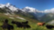 mont-blanc-Kühe pb.png