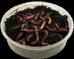 czerwony robak 2