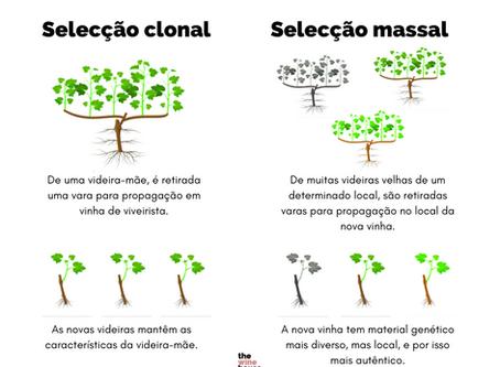 Os prós e os contras da selecção massal e da selecção clonal