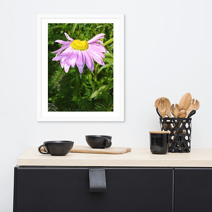 Light Pink and Yellow Daisy framed photograph