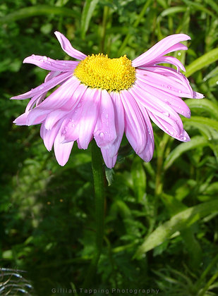 Light Pink and Yellow Daisy unframed photograph
