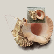 Conch shell drawing process
