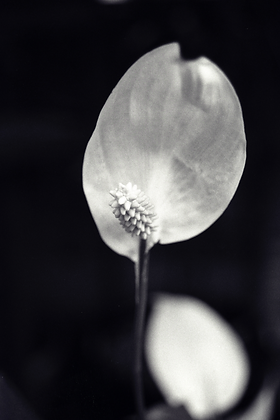Peace Lily unframed Photograph