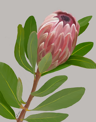 Protea unframed drawing