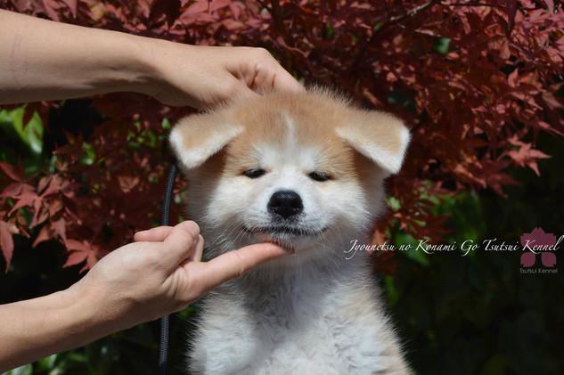 akita inu tsutsui kennel | criadores akita inu