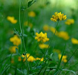 L'Élixir floral d'Alfalfa Chilota