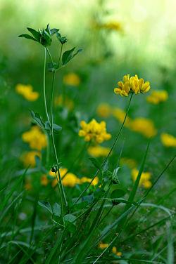 Alfalfa chilota, élixir floral du chili, dhelaroma