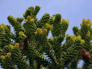L'Élixir floral d'Araucaria