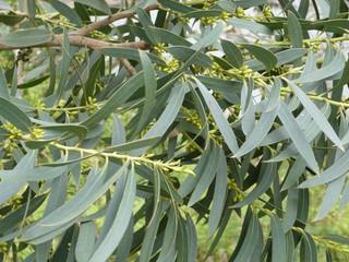 L'Eucalyptus radié