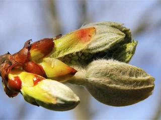 Chesnut Bud - Bourgeon de marronnier - n°7
