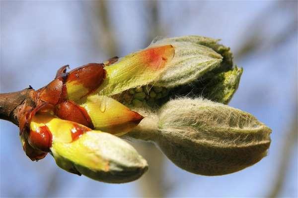 chesnut bud, bourgeon de marronnier, dhelaroma, fleurs de bach
