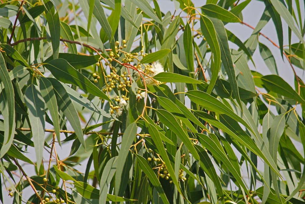 L'Huile essentielle d'eucalyptus citronné