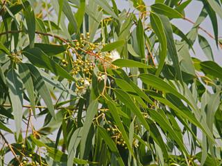 L'Eucalyptus citronné