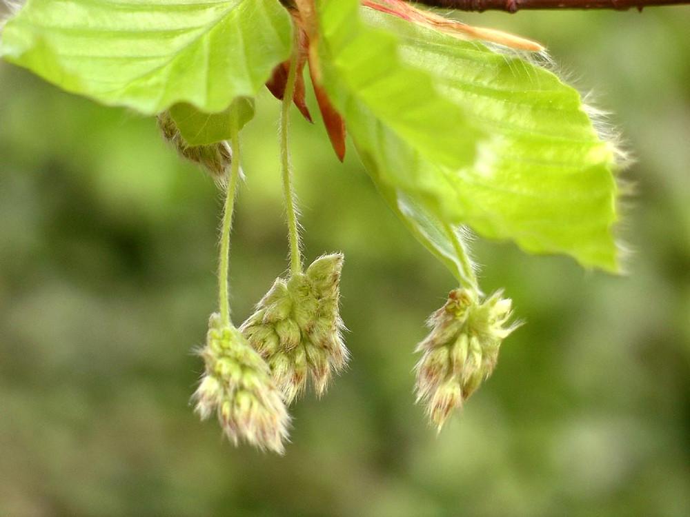 fleurs de bach beech, dhelaroma, hêtre, émotions